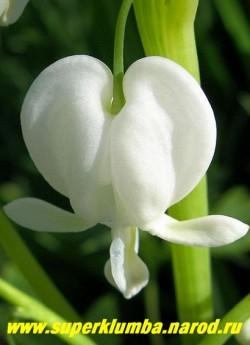 """цветок ДИЦЕНТРЫ ВЕЛИКОЛЕПНОЙ """"Альба"""" (Dicentra spectabilis f. alba) , крупным планом. Для посадки дицентры подходят ,как солнечные участки, так и затененные уголки в саду.Не переносит очень сырых участков, там ее корни могут загнивать, ЦЕНА 250-300 руб (1 делёнка)"""