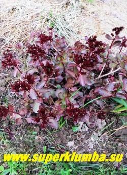 """ОЧИТОК ЛОЖНЫЙ """"Вуду"""" (Sedum spurium """"Voodoo"""") даже  цветущее растение практически не теряет своей темной окраски. ЦЕНА 250 руб (1 деленка)"""