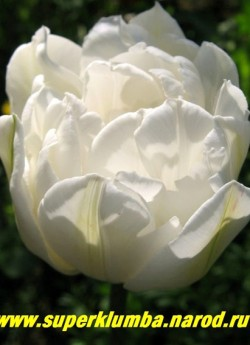 Тюльпан МАУНТ ТАКОМА (Tulipa Mount Tacoma)  махровый поздний (пионовидный) редкий для махровых тюльпанов чисто- белый цвет, отличная срезка, долгое до 2-3 недель цветение, высота до 45 см, ЦЕНА 80 руб ( 1 лук)