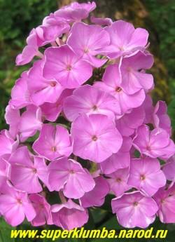 Флокс метельчатый ЗИЛЬБЕРЛАХС (Phlox paniculata Silberlachs) Foerster 1956, С, 90/4-4,2. Нежно-розовый с сиреневым оттенком, штриховкой по полю лепестков, неярким высветлением и глазком чуть темнее основного тона, Соцветия большие, плотные, в саду серебристый. Куст красивый, прочный. ЦЕНА 200 руб (1шт).или 400 руб  (куст 3-4шт)  НЕТ НА ВЕСНУ