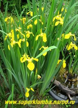 Куст  ИРИСА АИРОВИДНОГО ( Iris pseudacorus ) около исскуственного прудика. Этот ирис можно заглублять в воду на 30-40см, можно сажать в прибрежную зону, в местах слива воды. ЦЕНА 150 руб ( 1 дел)