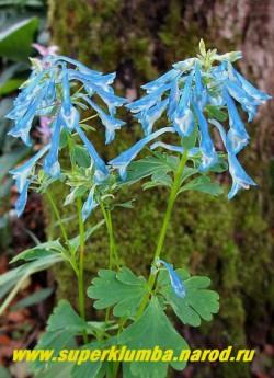 ХОХЛАТКА ИЗВИЛИСТАЯ (Corydalis flexuosa) довольно редкая в садах хохлатка с крупными ароматными лазурными цветами с длинными шпорцами. Формирует плотные кусты высотой 20-40 см. Цветет в июне-июле.  ЦЕНА 350 руб (1 дел)