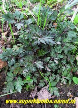 """ПОЛЫНЬ МОЛОЧНОЦВЕТКОВАЯ (Artemisia lactiflora) Крупная редкая полынь с бордовыми побегами и резными блестящими темно-зелеными с бордовым оттенком листьями . Очень декоративна с красивоцветущими многолетниками. Цветет в августе белыми цветами - """"бубенчиками"""" собранными в густые соцветия кисти .Высота до 100 см. РЕДКОЕ!  НЕТ В ПРОДАЖЕ"""
