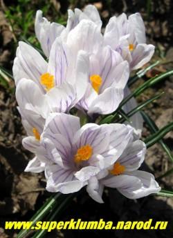 """КРОКУС ВЕСЕННИЙ (Crocus vernus) """"крупноцветковый белый с фиолетовыми полосами с тонкими чуть жатыми лепестками"""", цветет апрель-май, ЦЕНА 100 руб (3 шт)"""