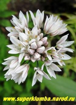 ЛУК ДУШИСТЫЙ (Allium odorum) съедобно-декоративный лук с похожими на траву листьями, обладающими слабым чесночным привкусом, очень популярный в Азии. Соцветия очень декоративные, белые , душистые диаметром 5-6 см. Высота 30-70 см. НОВИНКА!  НЕТ НА ВЕСНУ