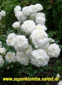 """куст РОЗЫ """"белой почвопокровной"""". Листва темно-зеленая, на одной ветке до 20 бутонов, необыкновенно красивая. ЦЕНА 300-400 руб (3-5 летка)"""