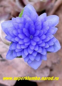 цветок крупным планом ПЕЧЕНОЧНИЦЫ БЛАГОРОДНОЙ «ЦЕРУЛЕА ПЛЕНА» (Hepatica nobilis f. Coerulea Plenа) НОВИНКА! ЦЕНА 1800 руб (1 шт) НЕТ НА ВЕСНУ