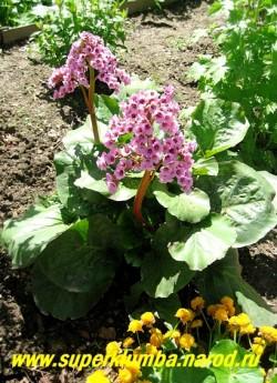 БАДАН СЕРДЦЕЛИСТНЫЙ (Bergenia cordifolia) бадан с крупными широкими листьями и темно-розовыми цветами на высоких 25- 35см цветоносах. Прекрасно растет на солнце, в полутени и тени, но цветет лучше на светлом месте. ЦЕНА 200 руб (деленка)