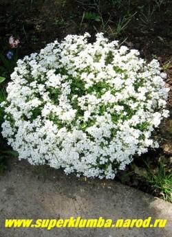 """АРАБИС КАВКАЗСКИЙ ''Шнеехаубе'' (Arabis caucasica """"schneehaube"""") белые цветки собранные в соцветия кисти на стелющихся побегах с опушенной серо-зеленой листвой, высота 13- 20см, цветет очень обильно в мае-июне, ЦЕНА 150-200 руб  (1 дел)"""