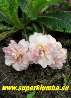 Примула бесстебельная  махровая ПИНК АЙС (Primula vulgaris Pink Ice) крупные белые с розовым румянцем густомахровые, ароматные цветы. НОВИНКА! ЦЕНА 500 руб (штука)  НЕТ НА ВЕСНУ