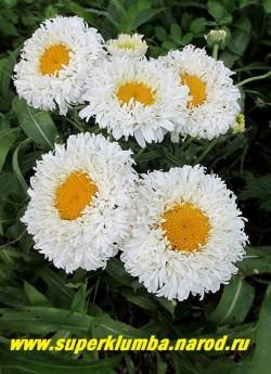 """Нивяник ОСИРИС НЕЙДЖ (Leucanthemum x superbum """"Osiris neige"""") Куст в моем саду. ЦЕНА 450 руб (делёнка)"""