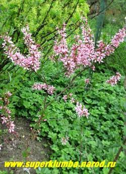 МИНДАЛЬ НИЗКИЙ или СТЕПНОЙ (Amygdalus nana) Небольшой листопадный кустарник до 1,5 м высотой, с густой, шаровидной кроной, весной в изобилии покрытый одиночными, ярко-розовыми цветками. Летом ветки густо покрыты узкими, линейно-ланцетными листьями. Цветение продолжается 7-10 дней. НОВИНКА! ЦЕНА 400-500 руб ( 3-4 летка)