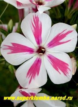 Флокс метельчатый ТВИСТЕР (Phlox paniculata Twister) Verschoor 2011, С, 40-60/4, новый компактный сорт флокса метельчатого. Цветки чисто-белые с розово-красной перьевидной полосой по середине лепестка, соцветие округлое, среднее по плотности и размеру. НОВИНКА! ЦЕНА 300 руб (1 шт) или 600 руб  (куст 3-4 шт)