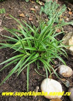 """ОЖИКА ЛЕСНАЯ """"Маргината"""" (Luzula sylvatica """"Marginata"""") Темно-зеленые блестящие листья шириной до 15 мм с широкой кремовой каймой по краю, соцветия – светло-коричневые метёлки. Высота до 20 см, ЦЕНА 200-250 руб ."""