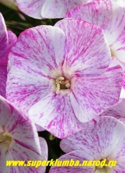"""Флокс метельчатый ЧЕРРИЗ ИН МИЛК (Phlox paniculata Cherries in Milk) Цветок крупным планом. Каждый цветок неповторимого окраса, название сорта переводится как """"вишня в молоке"""".   ЦЕНА 250 руб (1 шт) или 500 руб  (куст: 3-4 шт)"""