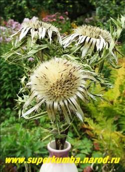 КАРЛИНА БЕССТЕБЕЛЬНАЯ или КОЛЮЧНИК (Сarlina acaulis) До цветения благодяря опушенным пересторассеченным игловиднозубчатым серебристым листьям, смотрится как шипастая морская звезда. В июле появляются крупные, до 12 см в диаметре, шаровидные соцветия-корзинки, окруженные венцом серебристо-серых листьев обертки. Цветение продолжается до сентября. Высота до 20 см. Особенно хороша карлина как одиночное растение на фоне камня, незаменима для сухих букетов и рокариев. Зимостойко, но не любит замокания. НОВИНКА!  РЕДКОЕ!  НЕТ В ПРОДАЖЕ