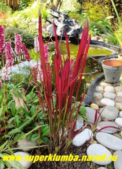 """ИМПЕРАТА ЦИЛИНДРИЧЕСКАЯ """"Красный барон"""" (Imperata cylindrica Red baron) На фото в конце лета. Молодые листья зеленые с винно-красными кончиками, по мере отрастания окраска становиться более интенсивной, осенью листва приобретает кроваво-красный оттенок. Предпочитает солнечное местоположение, кислые и увлажненные почвы.  ЦЕНА 300 руб НЕТ НА ВЕСНУ"""