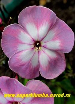 Флокс метельчатый СЕКРЕТ (Phlox paniculata Sekret). Цветок крупным планом. Уникальная очень узнаваемая окраска! ЦЕНА 300 руб (1 шт) или 600 руб (кустик : 3-4 шт)