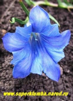 ГОРЕЧАВКА КИТАЙСКАЯ УКРАШЕННАЯ (Gentiana sino-ornata) Цветок крупным планом. Цветет в сентябре-октябре крупными   ярко-голубыми со светлой полоской цветочками 5 см в длину. При посадке в лунки добавляют гравий, требует полива   мягкой водой. НОВИНКА! НЕТ В ПРОДАЖЕ