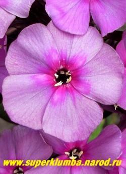Флокс метельчатый СУМРАК (Phlox paniculata Sumrack) Цветок крупным планом. Края лепестков сильно загнуты вперед. Соцветие овальное (28 х 25), большое, очень плотное. Куст прочный, нарастает хорошо. Зимостойкий, устойчивый к заболеваниям сорт. НОВИНКА! ЦЕНА 350 руб или 700 руб (кустик : 3-4 шт)