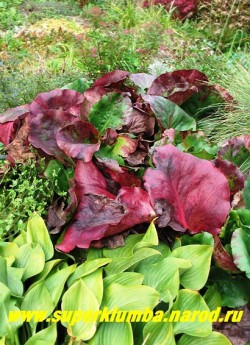 "БАДАН ГИБРИДНЫЙ ""Меджик Джиант"" (Bergenia ""Magic Giant"") Фото с осенними ярко-пурпурными листьями. НОВИНКА! ЦЕНА 300 руб"