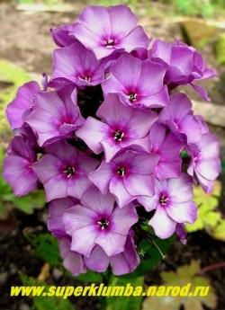 Флокс метельчатый СУМРАК (Phlox paniculata Sumrack) Гаганов 1953, СР, 70, 3.7. Серо-фиолетовый с пурпуровой крупной звездой в центре, не выгорает; окраска совершенно необычная, меняющаяся по мере цветения к более светлым тонам. На пурпурно-фиолетовом поле лепестков дымка появляется почти сразу. НОВИНКА! ЦЕНА 350 руб или 700 руб (кустик : 3-4 шт)