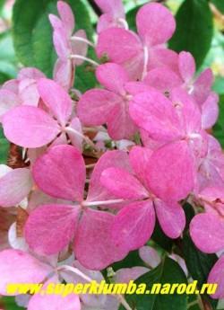 """ГОРТЕНЗИЯ МЕТЕЛЬЧАТАЯ """"Ванилла Фрайз"""" (Hydrangea paniculata """"Vanille Fraise"""") малиново-розовая окраска цветов осенью. ЦЕНА 400-1500 руб (3-6 летка) НЕТ НА ВЕСНУ"""