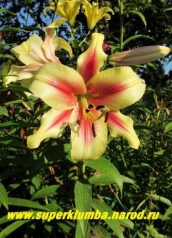 Лилия АЛБАНИ (Lilium Albany) ОТ-гибрид. Цветок крупным планом.   НЕТ В ПРОДАЖЕ