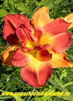 Лилейник ЛОНГФИЛДЗ ТВИНС (Hemerocallis Longfield`s twins) огромные махровые, диаметром 15-17 см, оранжево-красные с жёлтым горлом и ярким свечением цветы, лепестки слегка гофрированы, ароматный, высота 60 см. НОВИНКА! ЦЕНА 400 руб (1 шт)