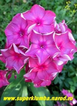 Флокс метельчатый АННА КАРЕНИНА (Phlox paniculata Anna Karenina)  Константинова 2003, С, 85, 4.2, Насыщенный розово-красный с лилово-пепельной дымкой, изнанка серебристая, соцветие округло-коническое средней плотности.   ЦЕНА 250 руб (1 шт) или 500 руб (кустик : 3-4 шт)