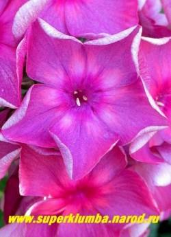 Флокс метельчатый АННА КАРЕНИНА (Phlox paniculata Anna Karenina). Цветок крупным планом. ЦЕНА 250 руб (1шт) или 500 руб (кустик : 3-4 шт)  НЕТ НА ВЕСНУ