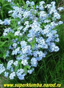 НЕЗАБУДКА ЛЕСНАЯ (Myosotis sylvatica) , непременный атрибут каждого сада, пышные кустики с нежно-голубыми цветами украсят цветник с мая по июль, двулетка ,но прекрасно возобновляется самосевом, высота 15-20 см, ЦЕНА 100 руб