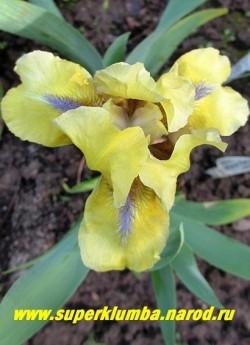 Ирис ЛЕМОН ФЛЕЙР (Iris Lemon Flare)  Стандартный карликовый. Цветок лимонно-желтый с голубой бородкой, по центру нижних лепестков белая полоса. Среднего срока цветения. Высота 20 см. НОВИНКА! ЦЕНА 150 руб (1шт)