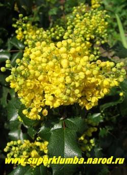 В мае МАГОНИЯ ПАДУБОЛИСТНАЯ (Мahonia aquifolia) пышно цветет душистыми желтые цветками в кистевидных соцветиях. ЦЕНА 250-500 руб (3-5 летки)