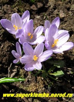 """КРОКУС ВЕСЕННИЙ (Crocus vernus) """"крупноцветковый нежно-сиреневый"""", цветение апрель-май, ЦЕНА 100 руб (3 шт)"""