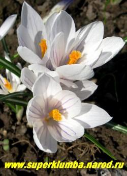 """КРОКУС ВЕСЕННИЙ (Crocus vernus) """"крупноцветковый белый со светло-фиолетовыми полосами с гладкими лепестками"""", цветет апрель-май, ЦЕНА 100 руб (3 шт)"""
