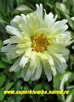 """Нивяник  """"РЕАЛ ДРИМ"""" (Leucanthemum """"Real Dream"""") цветок в начале роспуска.   Полностью распустившиеся цветы светлеют.   НОВИНКА! ЦЕНА 400 руб (делёнка) НЕТ НА ВЕСНУ!"""
