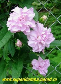 КАЛИСТЕГИЯ ПУШИСТАЯ (Calystegia pubescens) многолетняя лиана, цветет с июня розово-сиреневыми колокольчатыми махровыми цветами 7-8 см в диаметре. Побеги могут достигать до 4 м, Зимостойка , но в суровые бесснежные зимы желательно укрыть листом. НЕТ  В ПРОДАЖЕ