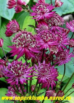 """АСТРАНЦИЯ БОЛЬШАЯ """"Руби Веддинг"""" (Astrantia major Ruby Wedding) в полном роспуске цветы становятся темно-фиолетовыми. Самый темный сорт астранции. НОВИНКА ! ЦЕНА 250 руб (1дел)"""