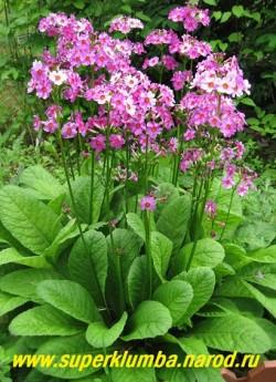 """Примула японская """"СВЕКОЛЬНО-РОЗОВАЯ"""" (Primula japonica) общее фото куста, ЦЕНА 170 руб (штука)"""