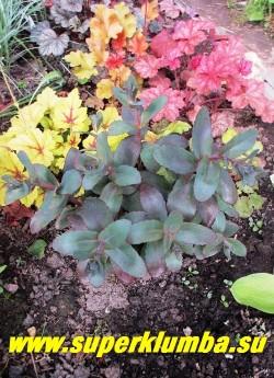 """ОЧИТОК ТЕЛЕФИУМ """"ПИКОЛЕТТЕ"""" (Sedum telephium ''Picolette'') в начале вегетации и в тени имеет более зеленый тон листвы, на полном солнце  становится темн-пурпурным.   На фото  типичная посадка в полутени. ЦЕНА 200 руб ( 1 деленка)"""
