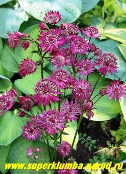 """АСТРАНЦИЯ БОЛЬШАЯ """"Руби Веддинг"""" (Astrantia major Ruby Wedding) темные рубиново-фиолетовые цветы . Стебли бордовые, эффектно контрастируют с темно-зелеными резными листьями. Очень длительное цветение июня по август . Высота куста до 70см. НОВИНКА ! ЦЕНА 250 руб (1дел)"""