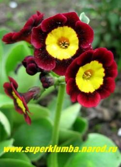 """Примула ушковая """"ЛОВИС"""" (Primula аuricula """"Lowis"""") винно-красная с красной каймой и ярко-желтым центром, с ароматом, высота до 15 см, цветет май-июнь. ЦЕНА 300 руб (штука)"""