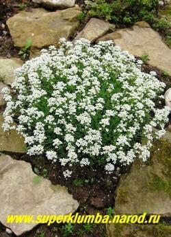 цветет ГУТЧИНЗИЯ АЛЬПИЙСКАЯ (Нutchinsia alpina)  На тонком стебле расположено густое соцветие - кисть, состоящая из мелких  четырехлепестковых белых цветов, расцветающих в мае-июне. Соцветия возвышаются над подушкой из листьев на 3-7 см. Цветение очень обильное и долгое. ЦЕНА 200-250 руб. (1 деленка)