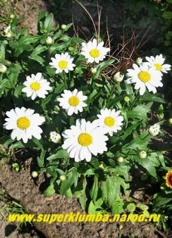 """Нивяник  ЛИТЛ ПРИНЦЕСС (Leucanthemum """"Little Princess"""") очень низкая, бордюрная ромашка с цветами диаметр цветка 6-7 см, высотой 15-20 см, цветение июль-август. НОВИНКА! ЦЕНА  200 руб (делёнка)"""