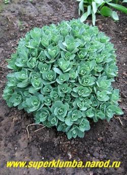 """ОЧИТОК ВИДНЫЙ """"Бриллиант"""" (Sedum spectabile """"Brilliant"""") весной , прямостоячее растение до 50 см в высоту , листья сидячие, крупные, овальные или лопатчатые, голубовато-зеленые , голые, по краю зубчатые. ЦЕНА 100-200 руб (1 деленка)"""