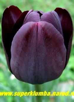 """Тюльпан КВИН ОФ НАЙТ(Tulipa Queen of Night)  класс """"простые поздние"""", """" королева ночи"""", один из самых черных тюльпанов, длительное цветение, высокие до 70 см цветоносы результат- отличная срезка. ЦЕНА 70 руб ( 1 лук)."""