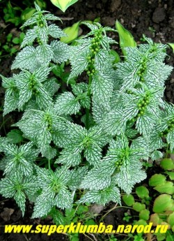 """ЯСНОТКА ЗЕЛЕНЧУКОВАЯ """"Геррманнс Прауд"""" (Lamium luteum ''Herman''s Pride'')  Это нарядный кустик высотой до 30 см с очень красивыми листьями - серебряными с зелеными жилками. В отличие от сорта """"Флорентинум"""" он компактный и вообще  не расползается. Цветки жёлтые на коротких цветоносах. ЦЕНА 200-250 руб (1дел)"""