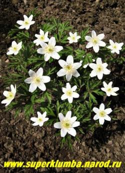 АНЕМОНА ДУБРАВНАЯ (Anemone nemorosa)  изящная анемона цветущая многочисленными белыми цветами диаметром 3-4 см и сильно рассеченными листьями, высота до 15 см, цветет с мая, эфемероид, ЦЕНА 150 руб (делёнка)