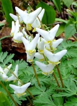 ДИЦЕНТРА КЛОБУЧКОВАЯ (Dicentra сuсcularia) необычные белые, похожие на перевернутые пантолончики, цветы этой дицентры, делают ее мечтой многих коллекционеров. Листва сизо-зеленая, резная, высота куста 15 см. Цветет в мае, летом листва отмирает.  НОВИНКА!  ЦЕНА 450 руб  НЕТ НА ВЕСНУ.
